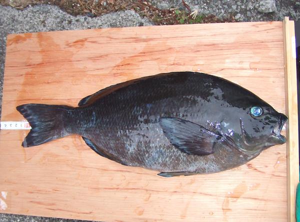 本日のBIG!42.5cm池角選手釣果