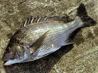 クロダイ(関東)・チヌ(関西) 若魚⇒カイズ・メイタなど