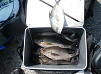 2日目の釣果イサキとカスミアジ